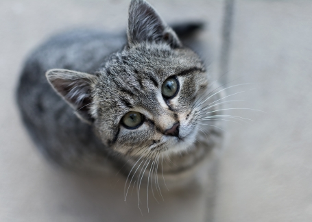 gray kitten looking.jpg